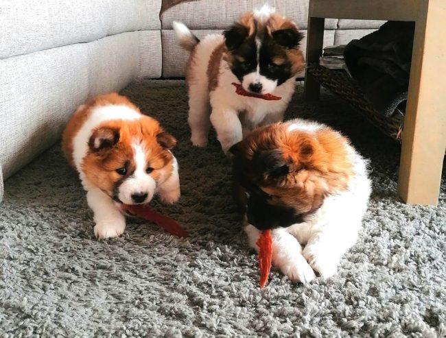 Puppy's met eenden filet